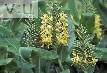 Ginger ,Hedychium garderianum,, Zingiberaceae.