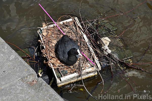 Nederland  Amsterdam - 2018. Meerkoet heeft een nest gemaakt op een klein vlot in de gracht. In het nest is ook een roze plastc rietje verwerkt.   Foto Berlinda van Dam / Hollandse Hoogte.