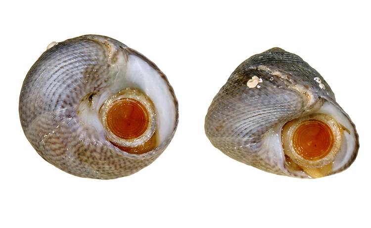 Grey Topshell - Gibbula cineraria
