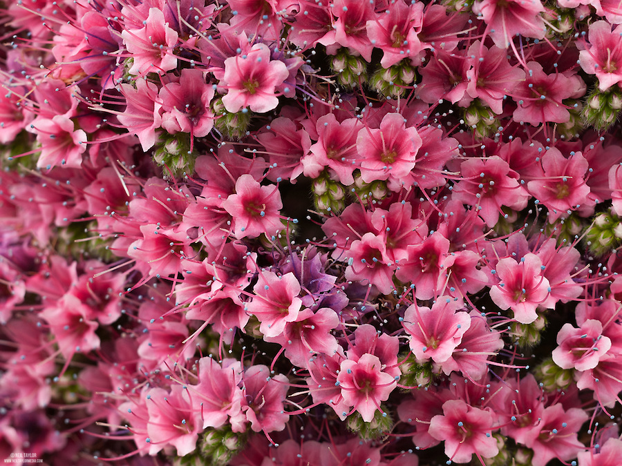 Red Bugloss {Echium wildpretii} at Kew Gardens