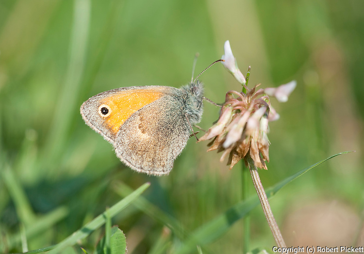 Small Heath Butterfly, Coenonympha pamphilus, Poienile Narcise, Brasov, Transylvania, Romania, feeding on flower in grass,