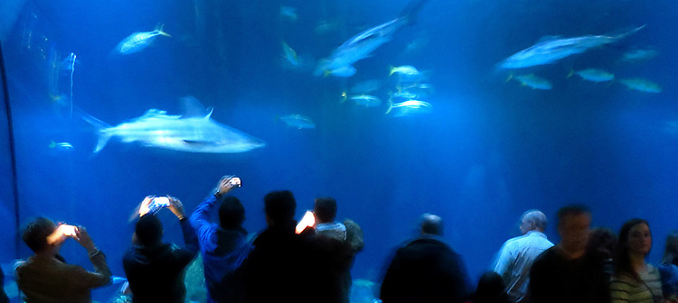 Chicago Scenes: Visitors snap photos of passing sharks as they swim by at the Shedd Aquarium in Chicago, the largest indoor aquarium in the world.(DePaul University/Jamie Moncrief)