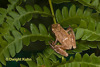 FR16-623z  Spring Peeper on fern leaves, Hyla crucifer or Pseudacris crucifer