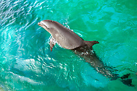 wholphin, or wolphin, a hybrid cetacean of false killer whale, Pseudorca crassidens, and common bottlenose dolphin, Tursiops truncatus, Oahu, Hawaii, USA (c)