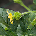 'Prickles' gourd (Cucumis anguria), polytunnel, mid August.