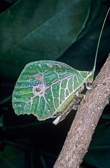 A tropical Leaf-mimicking Katydid (Typophyllum lunatum) not only resembles a leaf but appears to be a leaf with a bird dropping that has splattered on it. Such individuals are much less frequent than plain green colored ones within the same species, Amazon Rainforest, Peru.