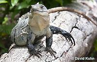 0626-1103  Black Spiny-tailed Iguana (Black Iguana, Black Ctenosaur), On Half-moon Caye in Belize, Ctenosaura similis  © David Kuhn/Dwight Kuhn Photography