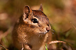 Tamias striatus, eastern chipmunk