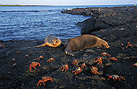 nd588. Sally Light Foot Crabs (Grapsus grapsus) in front of California Sea Lions (Zalophus californianus). Galapagos Islands, Ecuador, Pacific Ocean..Photo Copyright © Brandon Cole. All rights reserved worldwide.  www.brandoncole.com..This photo is NOT free. It is NOT in the public domain. This photo is a Copyrighted Work, registered with the US Copyright Office. .Rights to reproduction of photograph granted only upon payment in full of agreed upon licensing fee. Any use of this photo prior to such payment is an infringement of copyright and punishable by fines up to  $150,000 USD...Brandon Cole.MARINE PHOTOGRAPHY.http://www.brandoncole.com.email: brandoncole@msn.com.4917 N. Boeing Rd..Spokane Valley, WA  99206  USA.tel: 509-535-3489
