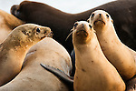 California Sea Lion (Zalophus californianus) females, Elkhorn Slough, Monterey Bay, California