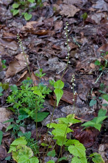 Bishop's Cap or Miterwort (Mitella), Great Smoky Mountains National Park, Tennessee, USA