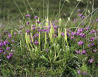Stagshorn Clubmoss - Lycopodium clavatum