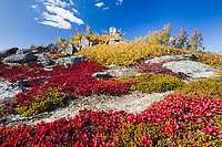 Red bearberry on the tundra at Finger mountain, Interior, Alaska.