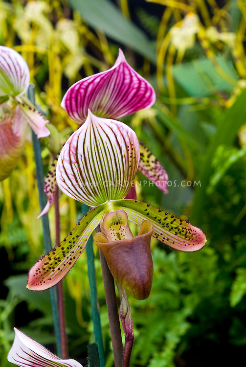 Paphiopedilum Maudiae orchid callosum hybrid concolor type in pink, reen, brown flowers