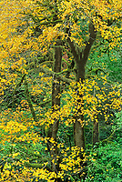 769550337 a moss draped big leaf maple tree acer macrophyllum in brilliant yellow fall color stands in humbug mountain state park oregon