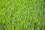 Green shoots cereal crop
