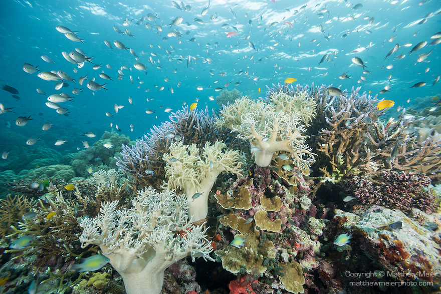 Russell Islands, Solomon Islands; an aggregation of ternate chromis, fusilier and damselfish swimming above mushroom leather soft corals with the sun coming in from overhead