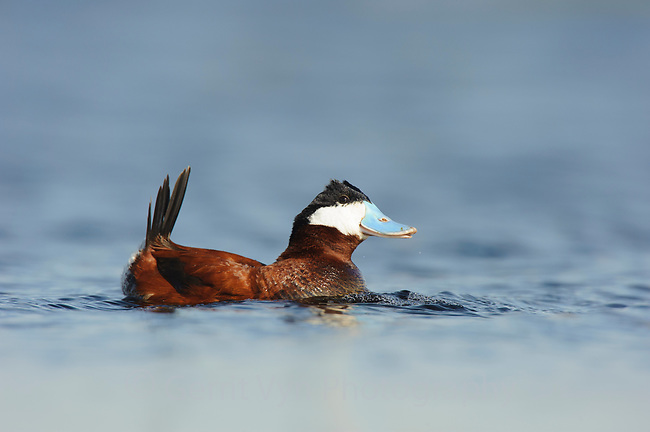 "Adult male Ruddy Duck (Oxyura jamaicensis) in breeding plumage performing a ""bubbling display"". In this display, which is used in both courtship and aggressive territorial encounters, the male holds its head and tail and 2 rows of feathers on its crown (""horns"") erect and inflates its neck. It then beats its bill rapidly against its neck, forcing air out of feathers, causing bubbles to appear in the water.  A low wheezing belching sound is uttered at the end of the display. Alberta, Canada. May."