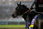 November 1, 2018: Wow Cat (CHI), trained by Chad C. Brown, exercises in preparation for the Breeders' Cup Distaff at Churchill Downs on November 1, 2018 in Louisville, Kentucky. Alex Evers/Eclipse Sportswire/CSM