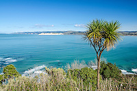 Cabbage tree & Muriwai headland cliffs. North Island New Zealand.