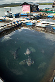 PHILIPPINES, Palawan, Puerto Princessa, grouper at a fish farm in the Santa Lucia area