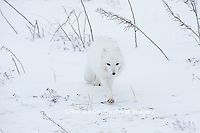 01863-01605 Arctic Fox (Alopex lagopus) in winter Churchil Wildlife Management Area Churchill, MB