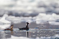 Male and female pair of surf scoter ducks swim amid floating ice in Unakwik Inlet, Prince William Sound, southcentral, Alaska.