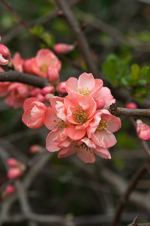 Flowering or Japanese quince (Chaenomeles x superba 'Coral Sea'), mid March.