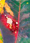Strawberry poison arrow frog, Bocas Del Toro, Panama