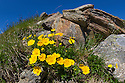 Alpine Cinquefoil (Potentilla crantzii) growing on mountainside. Nordtirol, Austrian Alps. June.