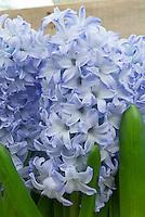 Hyacinth Blue Eyes