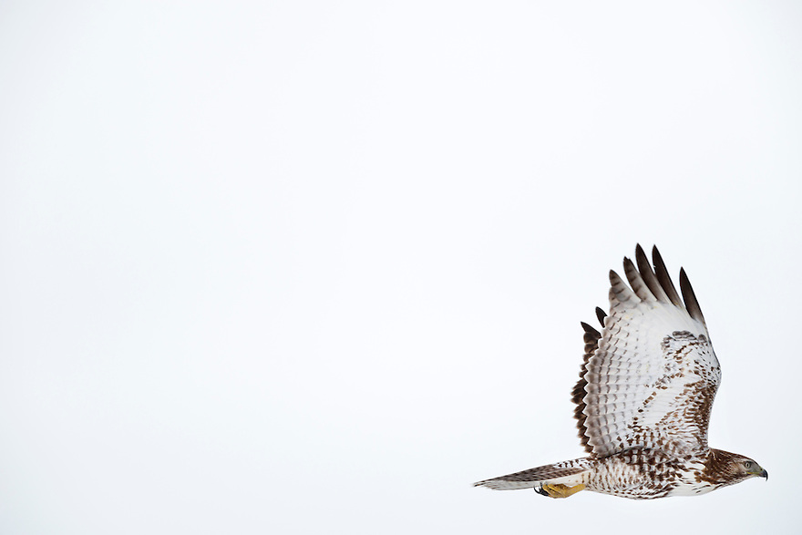 A Red-tailed Hawk flies over agricultural land north of Belgrade, Montana.