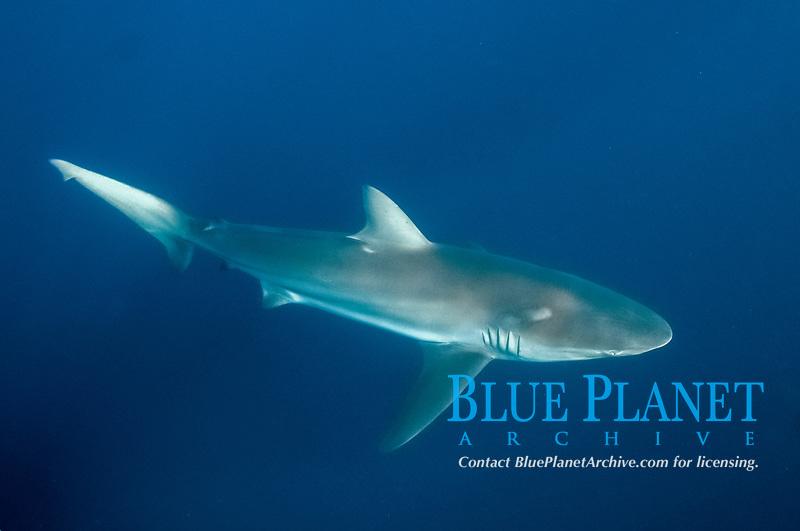 Copper Shark, Carcharhinus brachyurus, Port St. Johns, Wild Coast, Eastern Cape, Transkei, South Africa, Africa, Indian Ocean