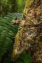 The lichen/moss mimic tree frog Spinomantis aglavei in its montane rainforest habitat near Camp Marojejia in Marojejy National Park, north east Madagascar.