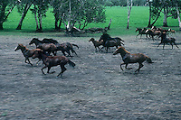 Wild Horses or also called Brumbies in Australia crossing the northern Flood plains near the East Aligator River, Northern territory, Australia