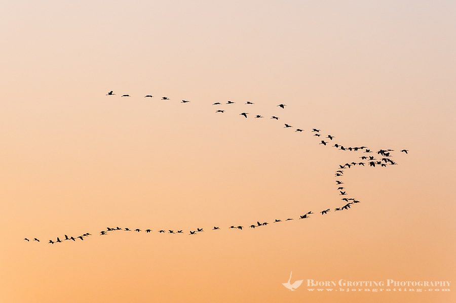 Luxor, Egupt. The sun sets over the Nile. ibises flying in formation.