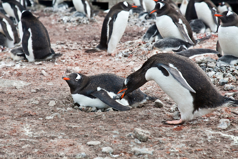 Gentoo penguin carries a rock to add to the nest, Port Lockroy, western Antarctic Peninsula.