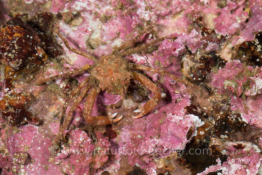 Geigenkastenseespinne, Geigenkasten-Seespinne, Seespinne, Rote Seespinne, Dreieckskrabbe, Dreiecks-Krabbe, Hyas coarctatus, Hyas serratus, Contracted crab, Arctic lyre crab, Toad crab, Spider crab