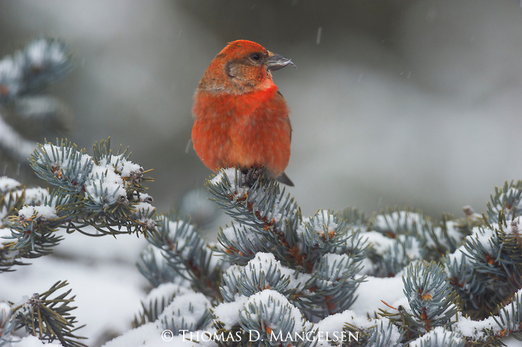 A red crossbill perches on the branch of a snowy conifer in Northwest Wyoming.