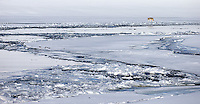 A coyote travels along the frozen shores of the Yellowstone River.