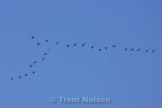 geese flying over the great salt lake
