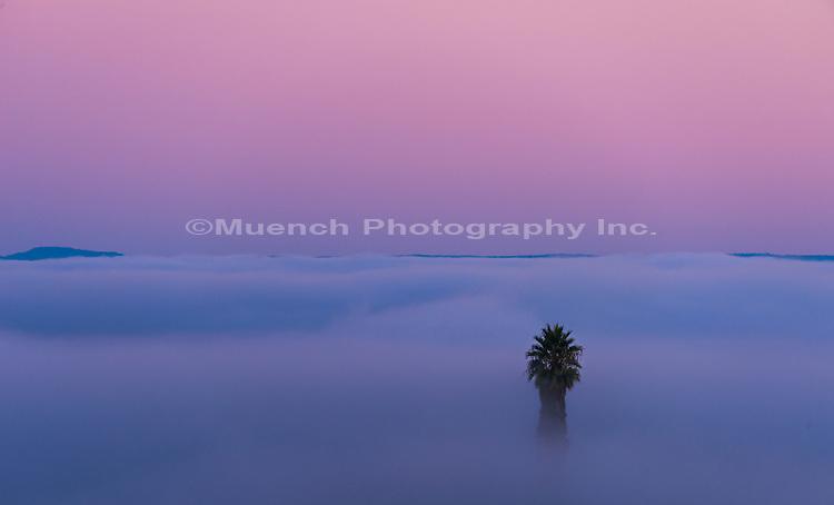 Fog around palm, Gaviota Coast, California