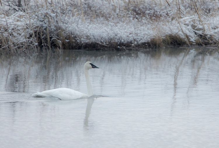 A swan swims through light snow fall in Potter's Marsh near Anchorage, Alaska.