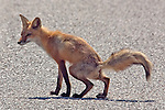 A red fox defecating in the middle of a road.