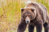 Brown bear in the golden grasses of Katmai National Park, southwest, Alaska.