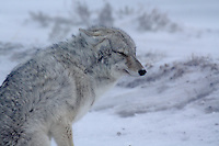 A coyote braves the cold extremes at Yellowstone National Park, Wyoming