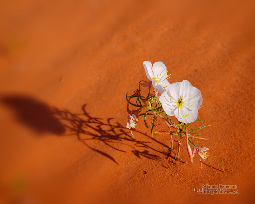 Evening Primrose, Monument Valley, Arizona