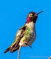2015-01-18_LGCrkTrail_Annas Hummingbird