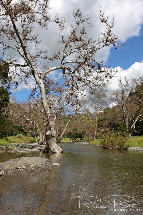 Sycamores line Alameda Creek as it flows through the Sunol Regional Wilderness near Sunol, California. Sunol Regional Park is part of the East Bay Regional Park District.