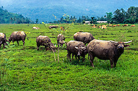 West Sumatra. South of Padang. Water buffaloes, (Kerbau) are still used in traditional farming.